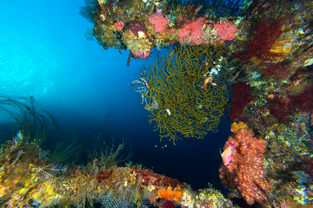 seafan: Coral reef at USAT Liberty Wreck