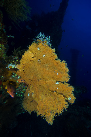 seafan: Underwater picture of Seafan at Liberty Wreck