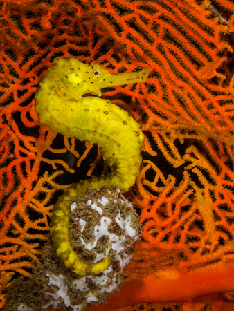 seahorse: A Yellow Seahorse on orange sea fan