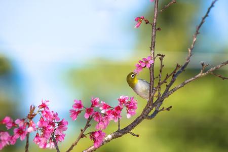 birding: Chestnut-flanked white-eye and Cherry blossom flower
