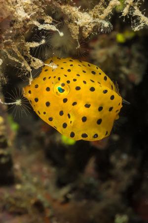 boxfish: Underwater picture of Yellow Box Fish