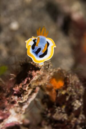 lembeh: Underwater picture of Chromodoris annae Nudibranch Sea Slug Stock Photo