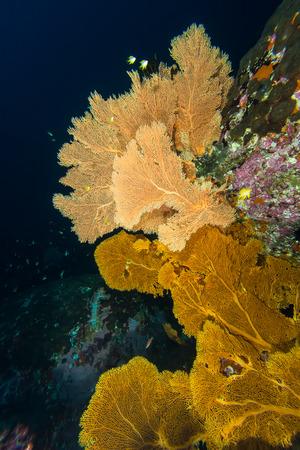 seafan: Underwater scape of big seafans at Myammas sea Stock Photo