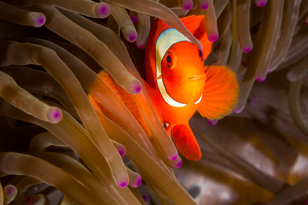 lembeh: Underwater picture of Maroon Clownfish in Anemone