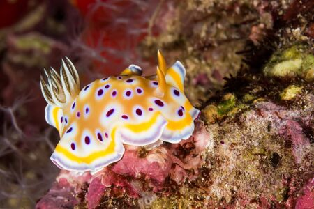 sea slug: Underwater picture of Chromodoris kuniei Nudibranch, Sea Slug