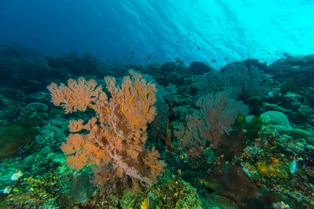sea fans: Underwater picture of Sea Fans in Coral Reef Stock Photo