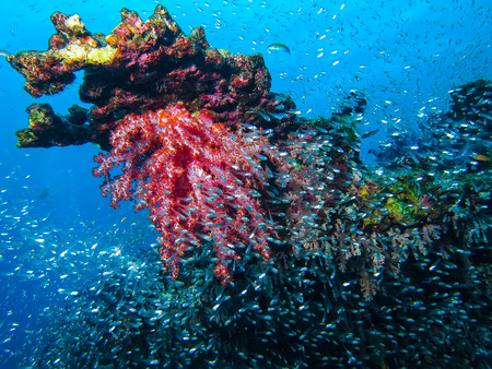 similan: Underwater picture of Soft Coral at Similan Island Stock Photo