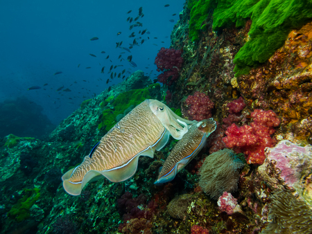 Underwater picture of Couple Cuttlefish Mating