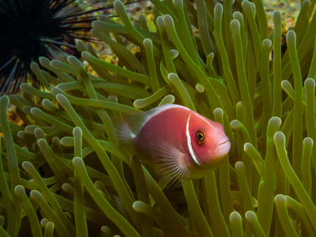 amphiprion: Underwater picture of Pink Skunk Clownfish Amphiprion perideraion