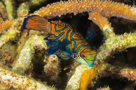 Underwater picture of Madarin Fish, Madarin Dragonet