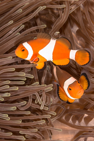 lembeh: Underwater picture of Clow Anemone Fish