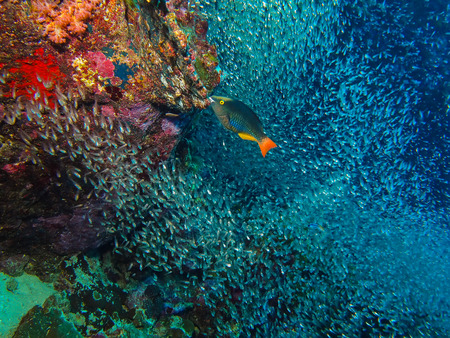 reef fish: Parrot fish and coral reef in Similan Island, Thailand