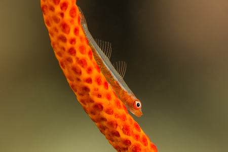 goby: Underwater picture of Whip Goby on Gorgonian Coral Stock Photo