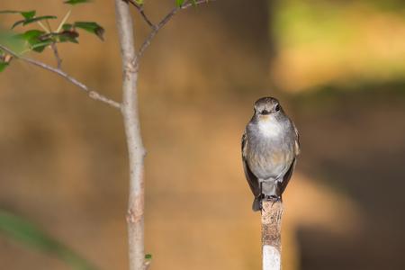birding: Red Throated Flycatcher Ficedula albicilla Bird in the garden