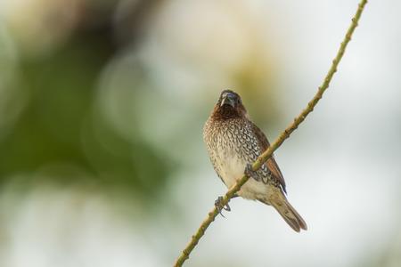 birding: Scaly-breasted Munia Bird in the garden