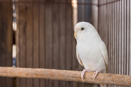 budgerigar: White Budgerigar in the cage