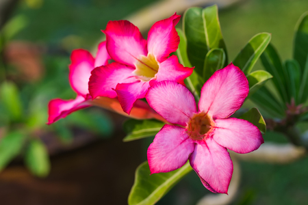 adenium: Red Adenium Flower in the garden Stock Photo