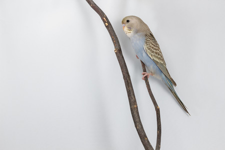 budgerigar: Little Budgerigar on branch and white background Stock Photo