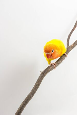lovebird: Yellow Lovebird Chick on branch white background