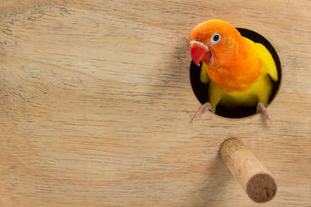 lovebird: Double Yellow Lovebird in white background