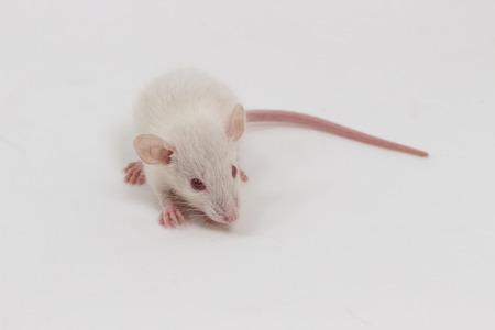 albino: Albino white lab rat on white background