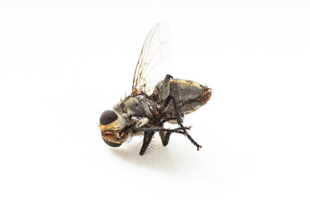 dirty: Dirty Dead Fly on white background