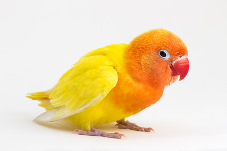 lovebird: Double Yellow Lovebird on white background