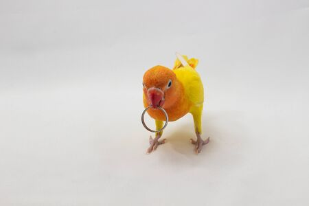 lovebird: Yellow Lovebird with Ring on white background