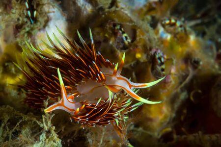 nudi: Underwater Picture of Mating Scene of Hermissenda Crassicornis Nudibranch