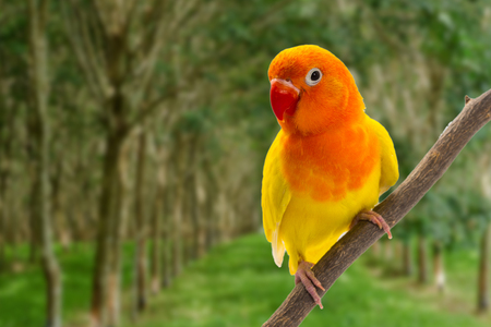 lovebird: Double Yellow Lovebird on branch in forest background Stock Photo