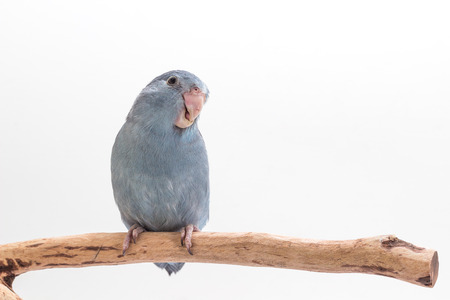 Mauve Forpus eating sunflower seed on branch white background