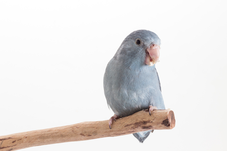 mauve: Mauve Forpus eating sunflower seed on branch white background