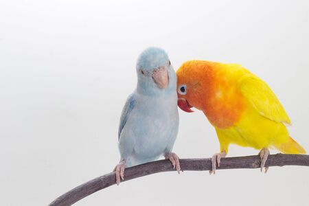 lovebird: Lovebird and Forpus playing together on branch and white background