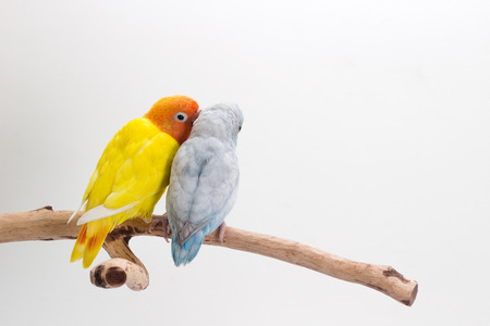Lovebird and Forpus playing together on branch and white background Stok Fotoğraf - 60089269