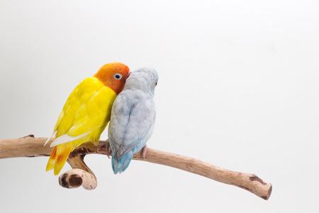 Lovebird y Forpus jugar juntos en rama y un fondo blanco Foto de archivo - 60089269