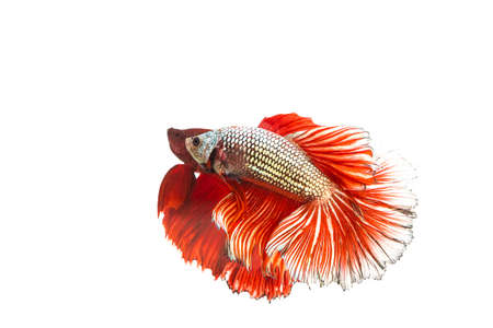 siamese: Betta, Siamese Fighting Fish on white background