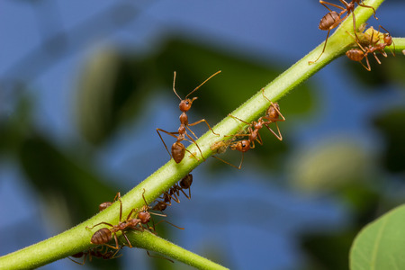 aphid: The working ants and aphid in the garden