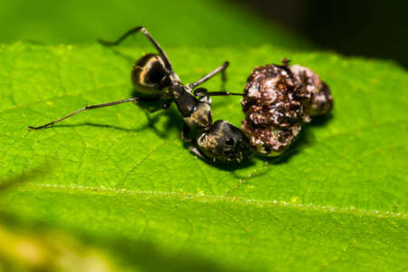 natue: Big Black Ant Eating in the garden