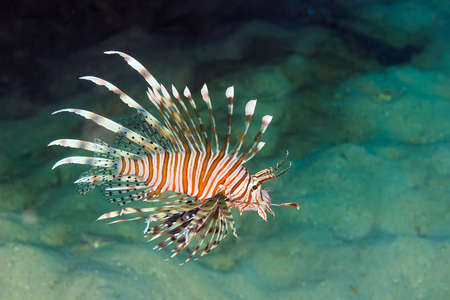 miles: Underwater picture of Pacific Lionfish (Pterois miles)