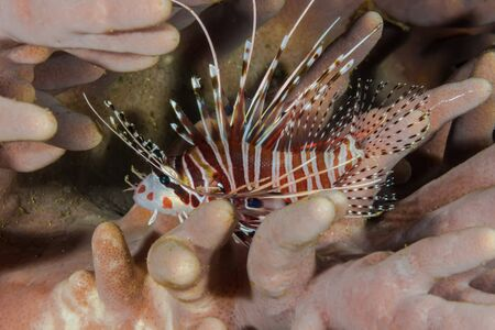pterois: Underwater picture of Pacific Lionfish (Pterois miles)