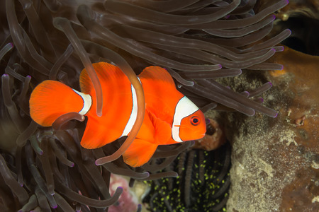 Underwater picture of Maroon Clownfish in Anemone
