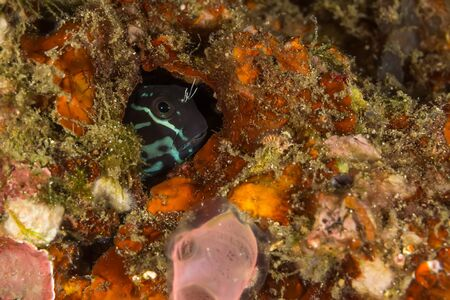 blenny: Underwater picture of Bicolor Blenny (Ecsenius bicolor) in the hidding place Stock Photo