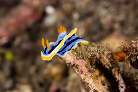 nudi: Underwater picture of Chromodoris annae Nudibranch Sea Slug Stock Photo