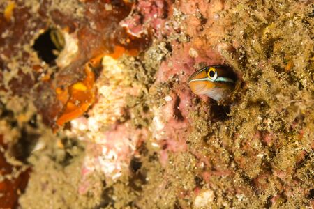 blenny: Underwater picture of Sabre-toothed blenny Fish in the hidding place