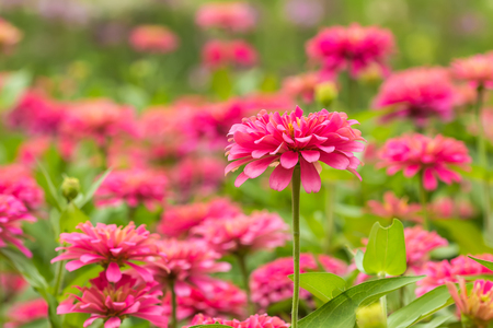 The Pink Gerbera , Barberton daisy in the garden Stock Photo