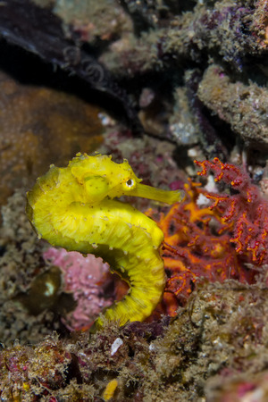 seafan: A Yellow Seahorse
