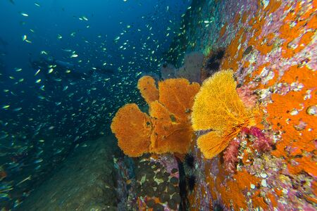 seafan: View of seafan in coral reef with diver in background