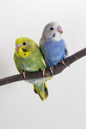 birds on branch: Little Cute Budgerigar, Budgie, Bird on white background