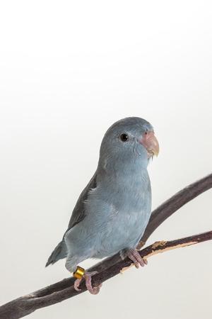 perico: Malva Forpus, periquito, pájaro en rama y un fondo blanco