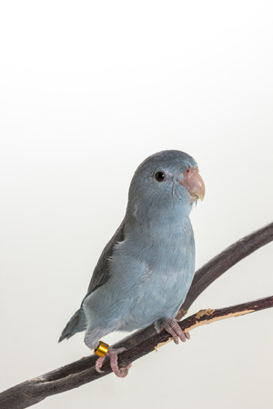 mauve: Mauve Forpus, Parakeet, Bird on branch and white background